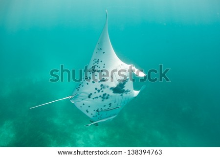 A small manta ray (Manta alfredi) cruises in a remote bay in the western Pacific.  This is the smaller of two species of manta rays and more often seen near coral reefs. - stock photo