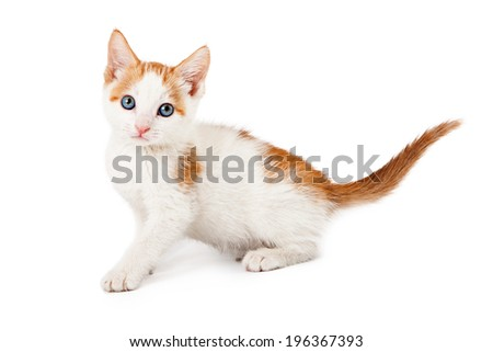 A small orange and white six week old kitten sitting to the side and looking at the camera - stock photo