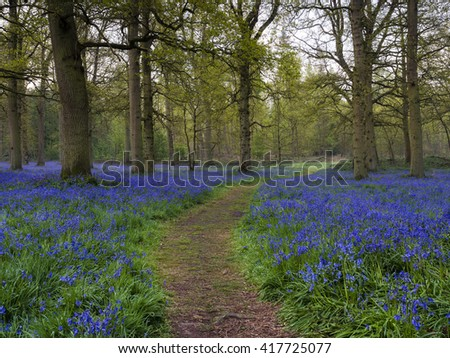 A small path through the bluebells at Blickling. - stock photo