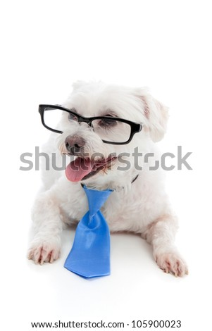 A small pet dog wearing glasses and a blue tie. - stock photo