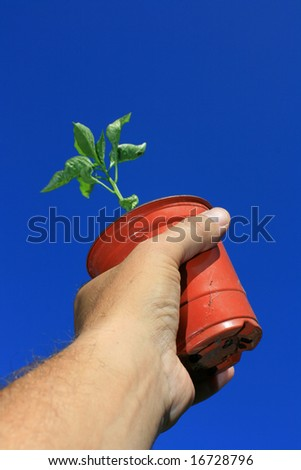 A small plant pot being held in the hand containing a young pepper plant. Set against a bright clear blue sky background. - stock photo
