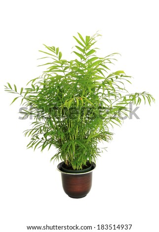 A Small Potted Bamboo Palm Isolated on White - stock photo