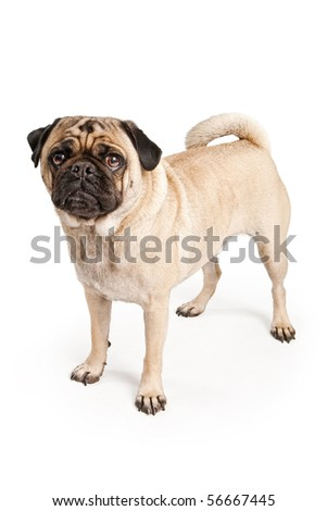 A small Pug dog standing up and isolated on white - stock photo