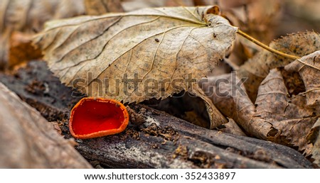 A small red fungus found among leaves - stock photo