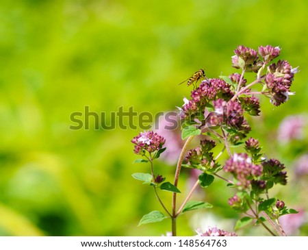 A small stingless honeybee (meliponines) collecting pollen from pretty purple oregano flowers in the summer. - stock photo