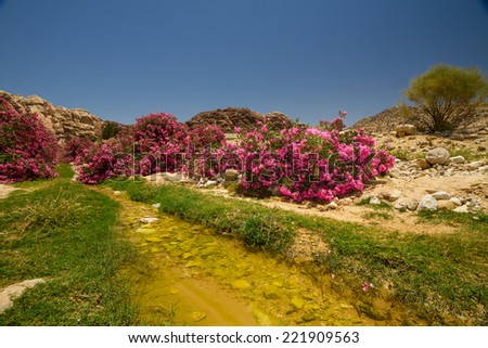 A small wadi (creek) with pink oleander bushes going towards Wadi Araba from Petra, Jordan. - stock photo