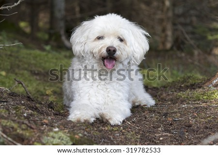 A small white Cockapoo dog pants as it takes a rest from a hike through a forest -  Haliburon, Ontario, Canada - stock photo