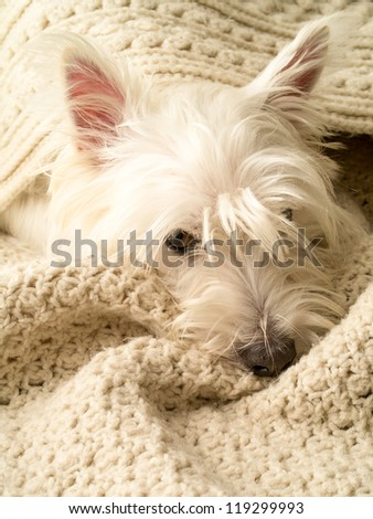 A small white dog snuggling under blankets - stock photo