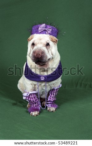 A small white Sharpei wearing a fancy purple costume sits on a green backdrop looking toward the camera. - stock photo