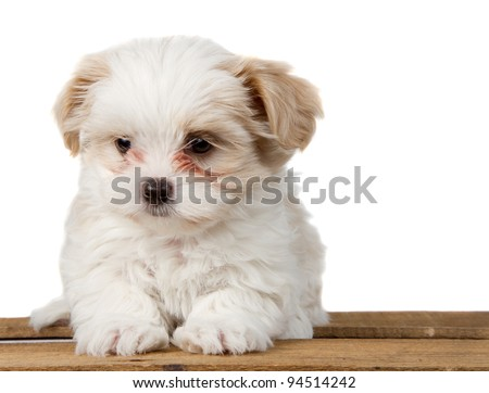 A small white shih-tzu puppy sitting on a plank with a sad look - stock photo