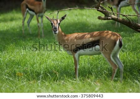 A small wild Thompson's Gazelle - Eudorcas thomsonii - stock photo