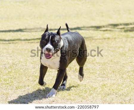 A small, young, beautiful, black and white American Staffordshire Terrier walking on the grass looking playful and cheerful. Its ears are cropped. - stock photo