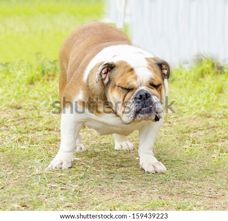 A small, young, beautiful, brown and white English Bulldog standing on the lawn while having its eyes closed and looking playful and stubborn. - stock photo