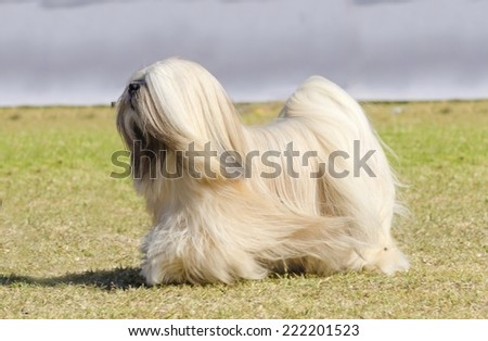 A small young light tan, fawn, beige, gray and white Lhasa Apso dog with a long silky coat running on the grass. The long haired, bearded Lasa dog has heavy straight long coat and is a companion dog. - stock photo