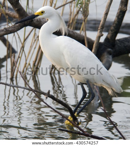 A smaller member of the heron family, this snowy egret perches on a branch in a Louisiana marsh as early sunset light gives him a halo effect. - stock photo