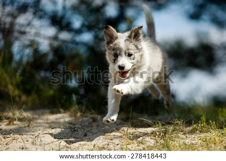 A smiling sweet little gray and white border collie pup is making a jump while running happily trough nature - stock photo