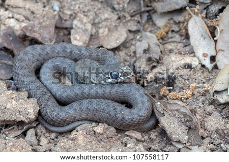 a snake on the ground - stock photo