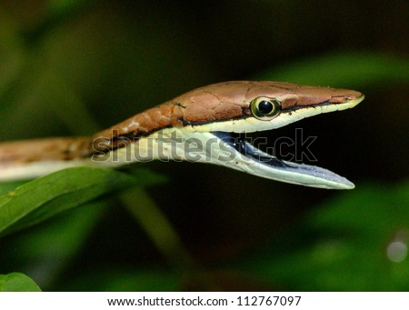 A snake threatening to bite - Brown or Mexican VIne Snake, Oxybelis aeneus - stock photo
