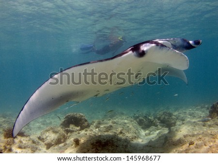 a snorkeler swimming with a manta ray  - stock photo