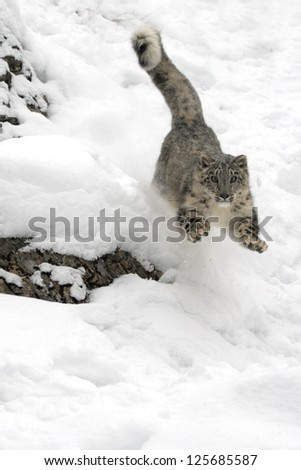 A Snow Leopard in Chase in the snow - stock photo