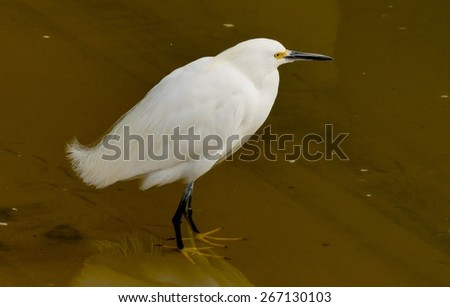 A snowy egret patiently awaits meal along the shore of San Diego bay. - stock photo