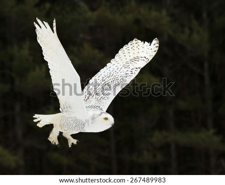 A Snowy Owl (Bubo scandiacus) flying against a black background.  - stock photo