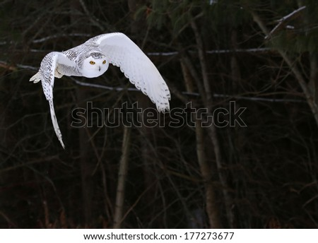 A Snowy Owl (Bubo scandiacus) in flight with trees in the background.  - stock photo