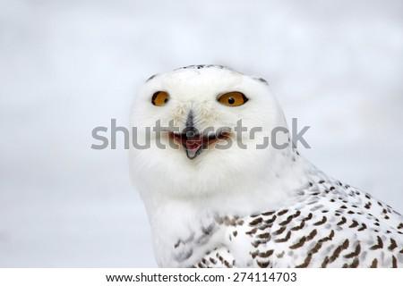 A Snowy Owl (Bubo scandiacus) speaking.  - stock photo