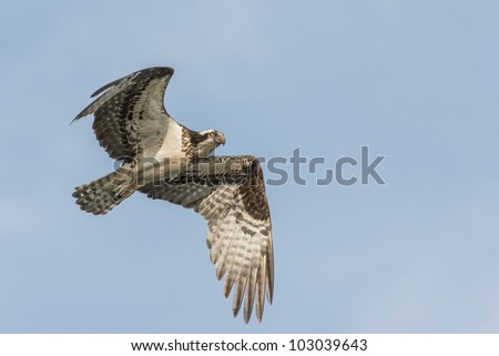 A soaring osprey against a blue sky - stock photo