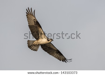 A soaring osprey in the morning sun - stock photo