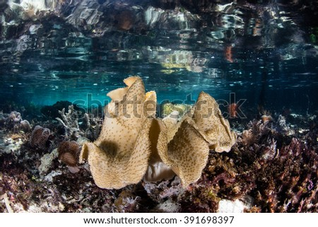 A soft coral colony grows along the edge of a mangrove forest in Raja Ampat, Indonesia. This remote region harbors a diverse array of marine habitats and species. - stock photo