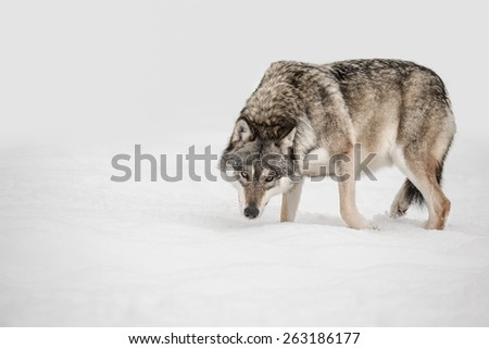A solitary lone wolf prowls through snow with its head hung low watching its potential prey - the photographer. - stock photo