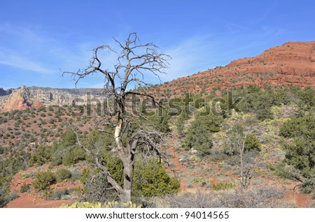 A solitary tree, gnarled, twisted and bare, stands out over the scrubby emerald brush and red rock of the national forest in Sedona. - stock photo
