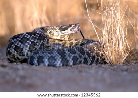 A southern pacific rattlesnake sitting partially in the shade and partially in the sun during a California sunset. - stock photo