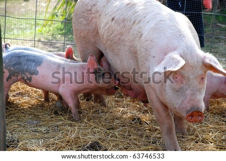 A sow walking with nursing piglets. - stock photo