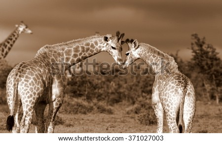 A special momen captured. A herd of Giraffe all together in this image. South Africa - stock photo