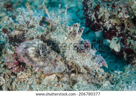 A Spiny devilfish (Inimicus didactylus) blends into the sand and rubble bottom near a coral reef in Indonesia. This venomous fish is an ambush predator. - stock photo