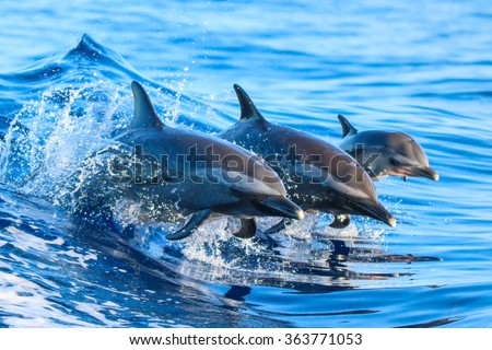 A spotted dolphin family leaping out of the clear blue Hawaii waters. - stock photo