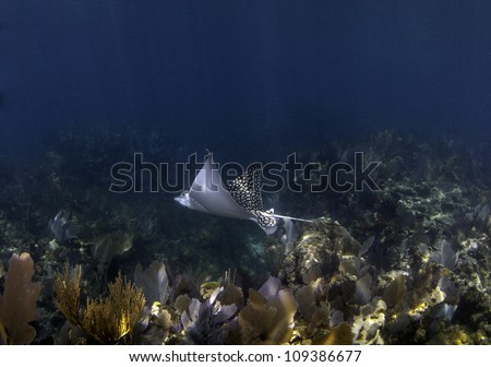 A spotted eagle ray swimming over a coral reef with a blue water background and sun beams shining through the water in Key Largo, Florida - stock photo