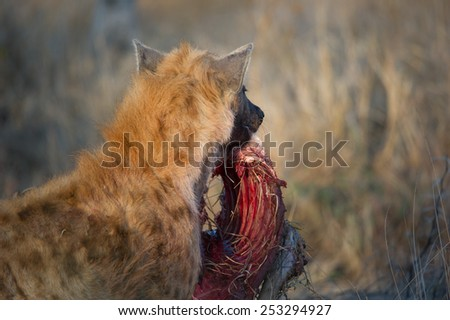 A spotted hyena carrying a carcass away - stock photo