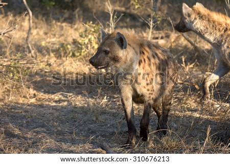 A spotted hyena feeding at a giraffe kill in Sabi Sands, South Africa - stock photo
