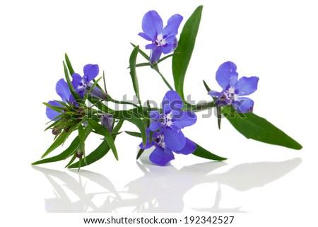 A sprig of blue lobelia on a white background. - stock photo