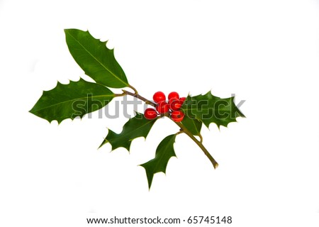 a sprig of holly isolated on white - stock photo
