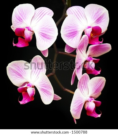 A sprig of pink orchids against a black background - stock photo