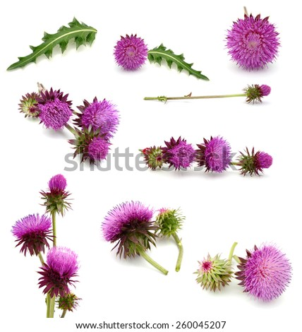 A spring thistle flowers on white - stock photo