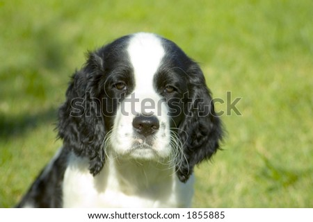 A Springer Spaniel puppy. - stock photo