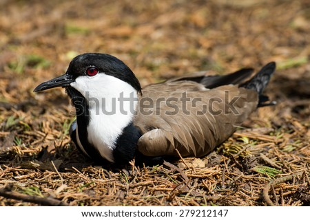 A Spur-winged lapwing relaxing in the underbrush. - stock photo