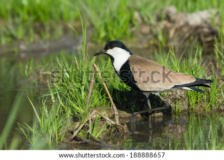 A Spur-Winged Lapwing (Vanellus Spinosus) stepping out of the mud - stock photo