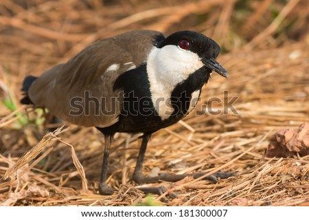 A Spur-Winged Plover (Vanellus Spinosus) kneeling with its head cocked up - stock photo