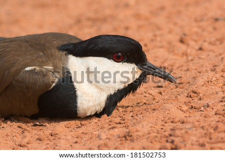 A Spur-Winged Plover (Vanellus Spinosus) lying on the road close up - stock photo